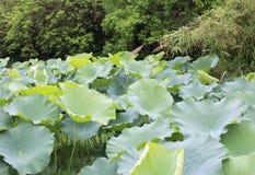 在边缘的莲花叶子jinghu (安静的湖) 免版税库存图片
