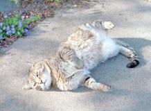 在边路的虎斑猫辗压 图库摄影