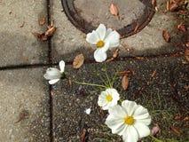 在边路的雏菊 图库摄影