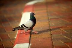 在边路的鸽子 免版税库存照片