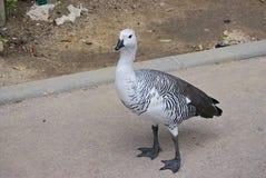 在边路的黑白鸭子 免版税图库摄影