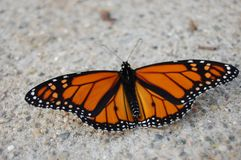 在边路的黑脉金斑蝶 图库摄影