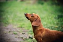 在达克斯猎犬狗外形的画象在室外的 站立在绿草的美丽的达克斯猎犬 标准平稳头发的达克斯猎犬 免版税库存图片