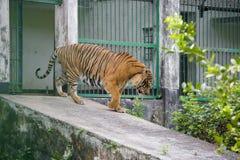 在达卡动物园的皇家孟加拉老虎洗浴打热的夏天热 图库摄影