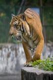 在达卡动物园的皇家孟加拉老虎洗浴打热的夏天热 免版税库存照片