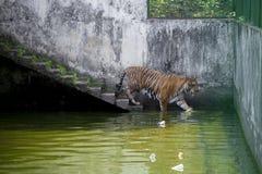 在达卡动物园的皇家孟加拉老虎洗浴打热的夏天热 免版税库存图片