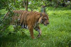 在达卡动物园的皇家孟加拉老虎洗浴打热的夏天热 免版税图库摄影
