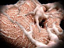 在过滤血液的小球的Podocytes 皇族释放例证