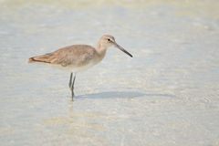 在海滩(Tringa semipalmata)的Willet 免版税库存图片