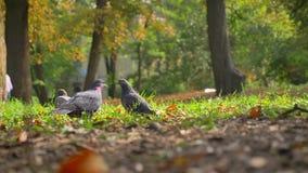 在运动的射击,野生鸠坐草、秋天叶子和温暖的天气,夏天Sunlights,自然纯净 股票录像