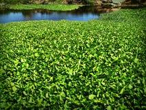 在运河的凤眼兰 Eichhornia crassipes 免版税库存图片