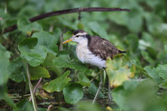 在运河的岸的一只幼小支持绿色的苍鹭 免版税库存图片
