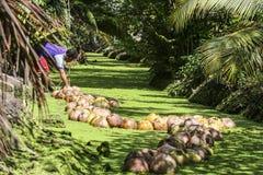 在运河的椰子transpotion 免版税库存图片