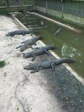 在运河的鳄鱼小组 免版税库存图片