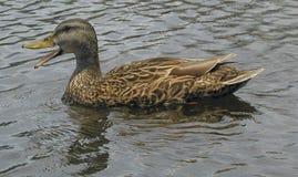 在运河的鸭子 库存照片