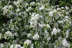 在运河附近的开花的苹果树 免版税库存图片