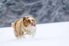 在运行期间的疯狂的看起来的澳大利亚牧羊人在雪原 免版税图库摄影