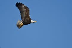 在运载一只半被吃的灰鼠的蓝天的白头鹰飞行 免版税库存照片