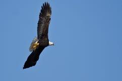 在运载一只半被吃的灰鼠的蓝天的白头鹰飞行 免版税图库摄影