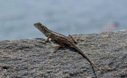 在近岩石的小的蜥蜴对海细节照片 图库摄影