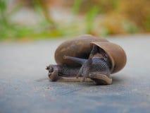 在近期中蜗牛 图库摄影