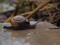 在近期中蜗牛 免版税库存图片