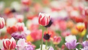 在近距离的五颜六色的郁金香