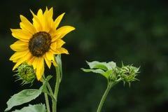 在近距离的向日葵在深绿背景中 库存图片