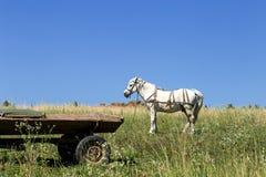 在近领域的美丽的白马 图库摄影
