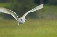 在这只有吸引力的谷仓猫头鹰的狩猎 图库摄影