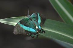 在这只鲜绿色Swallowtail蝴蝶的美好的颜色 免版税库存照片