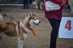 在这样橙色衣领的一个红色爱斯基摩在展示圆环旁边站立 现在这是他的争夺的轮第一个地方在狗展示 免版税库存图片