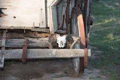 在远的西部无盖货车的绵羊头骨 库存图片