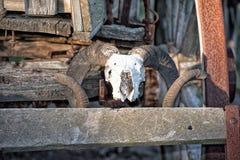在远的西部无盖货车的绵羊头骨 免版税库存图片