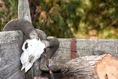 在远的西部无盖货车的绵羊头骨 免版税图库摄影