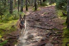 在远足的德国牧羊犬狗休假对与可看见的呼吸的气喘 免版税库存照片