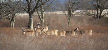 在迦南谷手段的鹿群 图库摄影