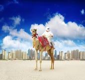 在迪拜海滨广场海滩的骆驼 库存照片