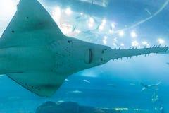 在迪拜的购物中心水族馆的锯鲛 免版税库存图片