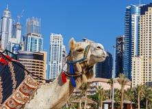 在迪拜的都市大厦背景的骆驼。 免版税库存照片