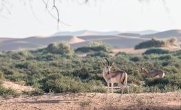 在迪拜铺沙瞪羚,阿拉伯联合酋长国的沙漠 免版税库存照片