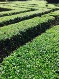 在迷宫形状的绿色树篱 免版税库存照片