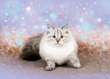 在迷离背景的圣诞节猫 免版税库存图片