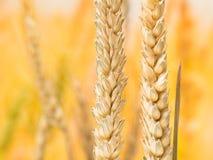 在迷离背景的成熟麦子和秸杆细节 免版税库存照片