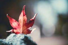 在迷离背景的红槭叶子 库存图片