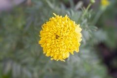 在迷离自然背景的美丽的黄色万寿菊 免版税库存照片
