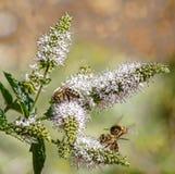 在迷迭香花的蜂 免版税库存图片