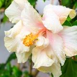 在迷离背景的桃红色软的木槿头状花序, 库存照片