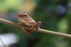 在迷离背景的雨蛙 库存图片