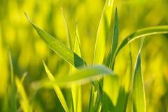 在迷离背景的绿色和黄色草刀片 图库摄影